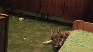 Wilk wstydzi się kamery:) Smieszne zwierzeta:) fochy wilczaka