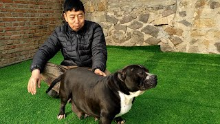 A bully is pregnant with a baby dog and will have puppies in more than ten days