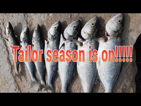 How To Catch Shad / Blue Fish / Tailor. Ballina Fishing