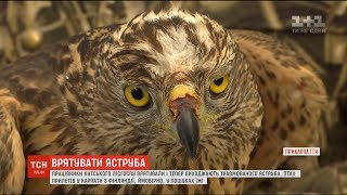 Прикарпатські лісники врятували травмованого яструба що прилетів з Фінляндії