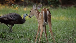 Wild Turkeys Play with Deer | BBC Earth