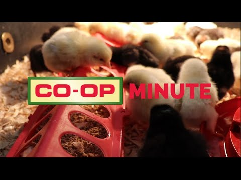 Co-op Minute: Chick Care