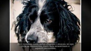 Русский охотничий спаниель Средние породы собак