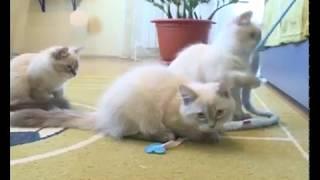 Соседи по планете: невская маскарадная кошка