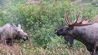 Bull, Cow:calf, Little Bull Interaction
