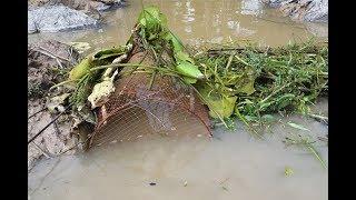Đặt lờ chặn bắt cá mùa nước lũ rút, bắt riết ghiền rồi   Catch fish in Vietnam countryside