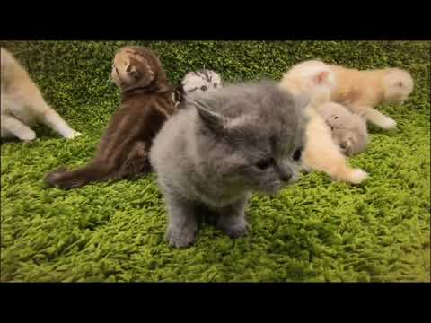 Scottish Fold / Guide / Care