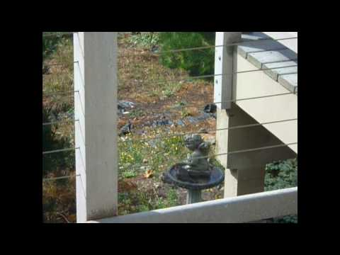 Pacific Northwest Woodpeckers - Northern Flicker and Birds Frantic in Bath