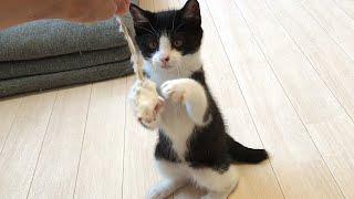 完全にボクサーになった子猫