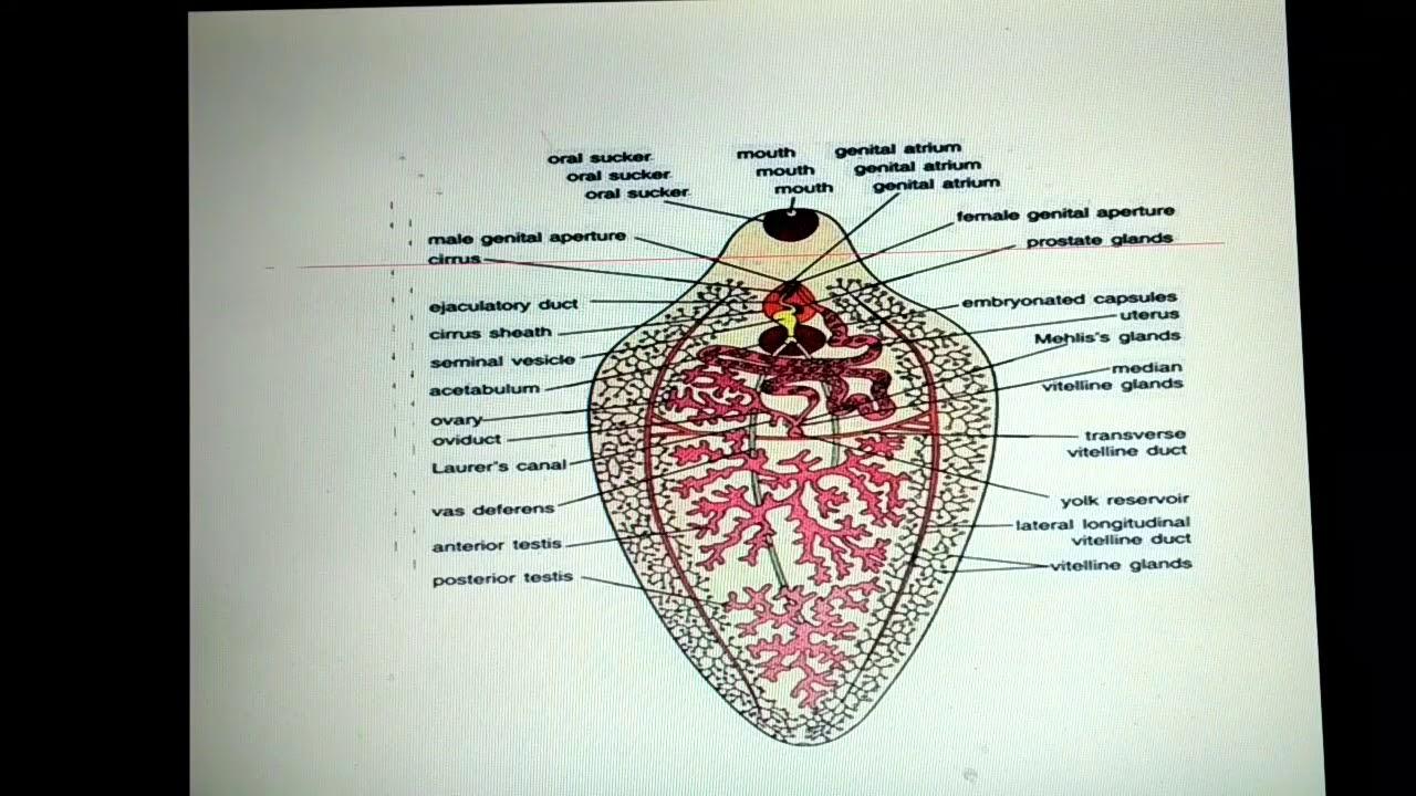 Male reproductive system of fasciola hepatica for ug and pg classes male reproductive system of fasciola hepatica for ug and pg classes ccuart Gallery