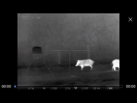6 hogs and 1 coyote. Thermal Pulsar xq50 trail