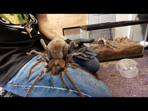 DANGER!! HANDLING THE LARGEST SPIDER IN THE WORLD!!!   BRIAN BARCZYK
