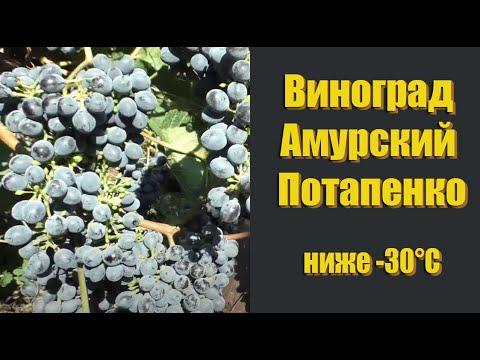 Виноград Амурский Потапенко - технический сорт винограда. ниже -30°С