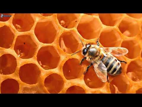 Как употреблять пчелиную пергу