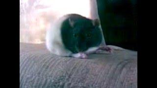 Крыса онлайн.