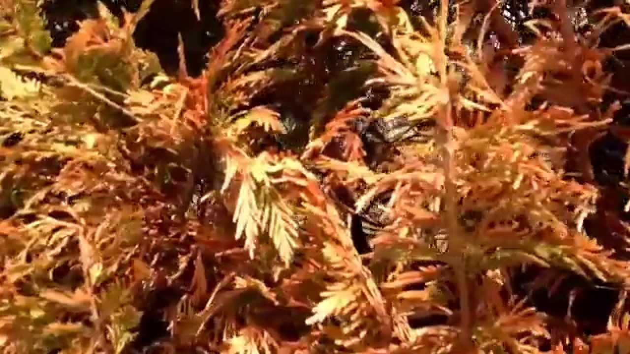 Why are my arborvitae brown? | Tree and shrub professionals in ...