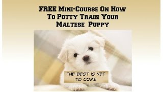 Maltese (dog Breed) How To Potty Train A Maltese Puppy House Training -housebreaking Maltese Puppies