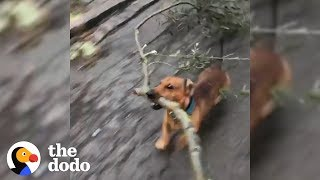 Dog Is Very Good At Big Sticks   The Dodo