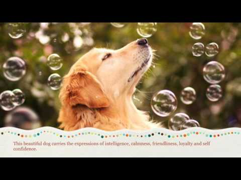 Golden Retriever Dog Breed Information, Origin, History, Appearance, Temperament, Health
