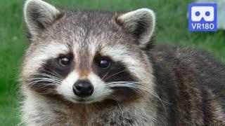 3D 180VR 4K Cute Raccoons ~~  Raccon Family at the Aqua Planet