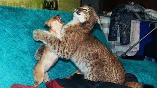 Бессмертная собака и большая кошка. Berserk Dog & Big Cat