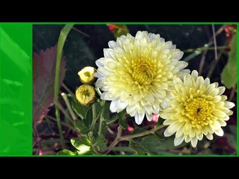 """Самые осенние цветы хризантемы корейские """"дубки""""  у меня в саду."""
