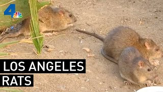 Rat Population Keeps Growing in Los Angeles | NBCLA