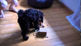 Dog Intelligence Toy - Poodle Puppy Kirima