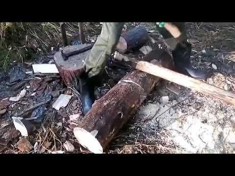 Заготовка кедрового ореха  Добыча и переработка кедровой шишки  Месяц в сибирской тайге!