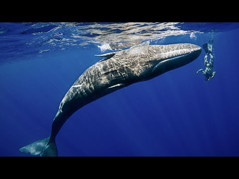 The Best Places to Swim with Sperm Whales
