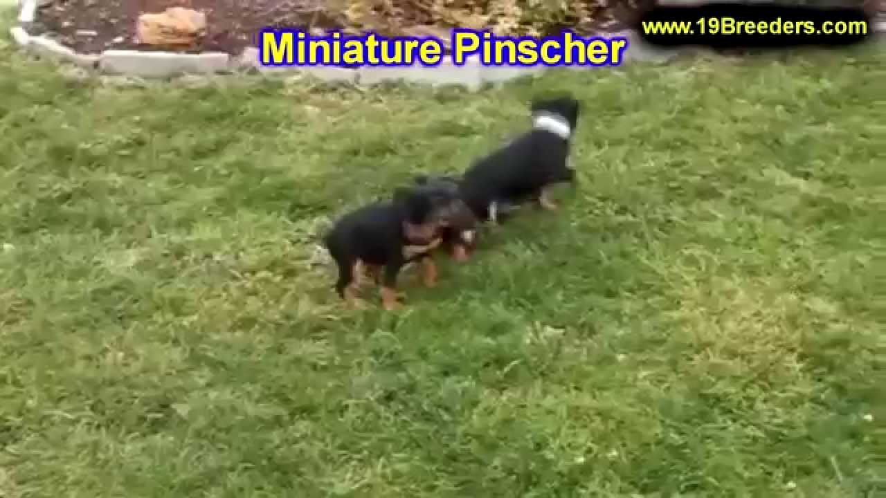 Miniature Pinscher, Puppies, Dogs, For Sale, In Charleston ...