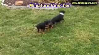 Miniature Pinscher, Puppies, For, Sale, In, Charleston, West Virginia, Wv, Williamson, Culloden, Ken