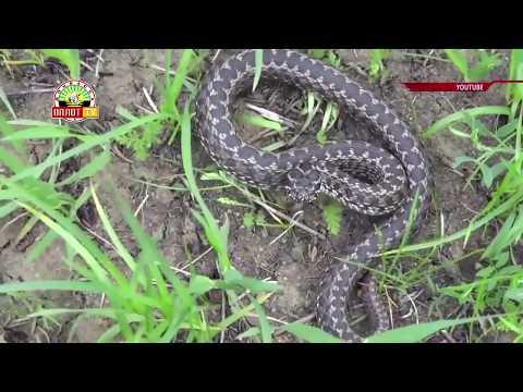 Осторожно! Ядовитые змеи.