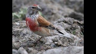 Певчие птицы в вольере (Щеглы,Чижи,Репела,Зеленушки,Овсянка)