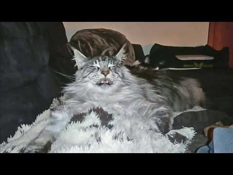 BIG Maine coon cat Hélios meows meows his cat treats ....after cats are napping and snoring !!