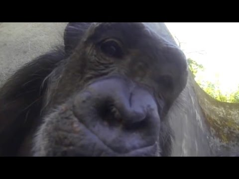 Chimpanzee shows off her camera skills