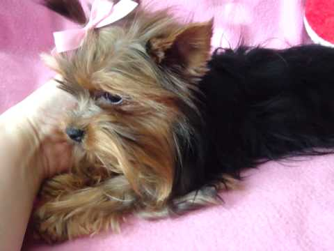 Extra Micro Yorkie Female Adult For Sale 15 Lbs Fully Grown Youtube