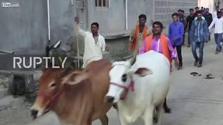 Un rituel bizarre en Inde des hommes piétinés par des vaches et des taureaux