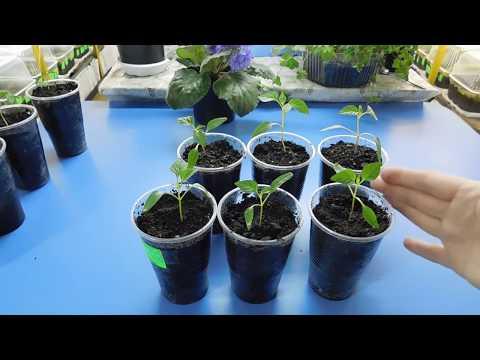 🍅🍅🍅ЛУЧШИЙ СПОСОБ ПИКИРОВКИ ПЕРЦА ! Как успешно пересадить маленькие растения