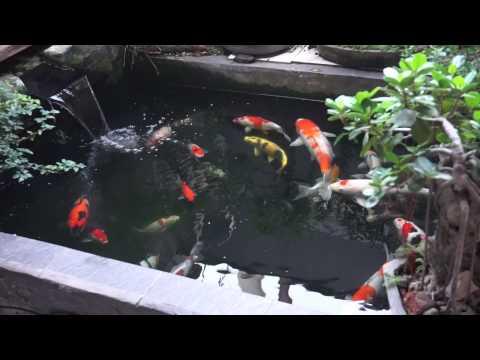 Gambar Ikan Koi - Gambar V