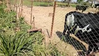 कम खर्चे  मे  गाय  का  संगोपन करे  मुक्त संचार गोठा // low cost mukt sanchar gotha // open farming