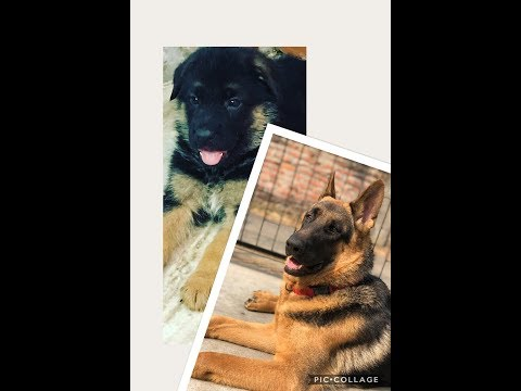 German Shepherd growing from 38 days to 11 Months