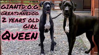 超大型犬 多頭飼い 渡辺ボス ニューファンドランド&グレートデン 犬好き 集まれ