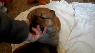 4 week old chow puppies wrestling