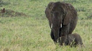突然雨が降ってきた!アフリカゾウの赤ちゃん、お母さんの下で雨宿り