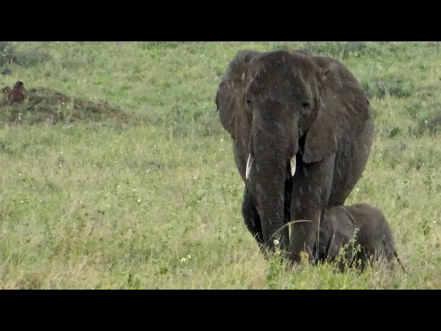 Sweetest thing! Look what this baby elephant does when it starts to rain