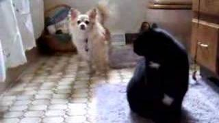 My cat beating up my dog!! :-)