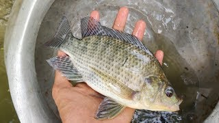 Huge Tilapia and Other Fish are Caught in The Cast Net | Traditional Fishing