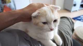 【激カワ】甘える子ネコ。 スコティッシュフォールド
