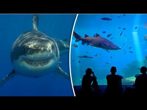 इसीलिए Great White Shark को Aquarium में कभी नहीं रखा जाता Unique Fact Of Great White Sharks
